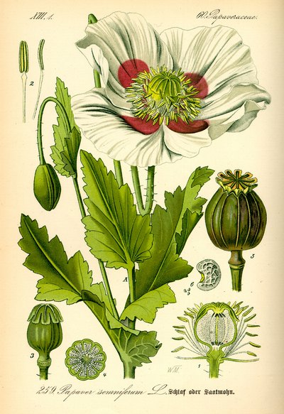 Afghanistan la culture de l 39 opium - Culture de l echalote ...